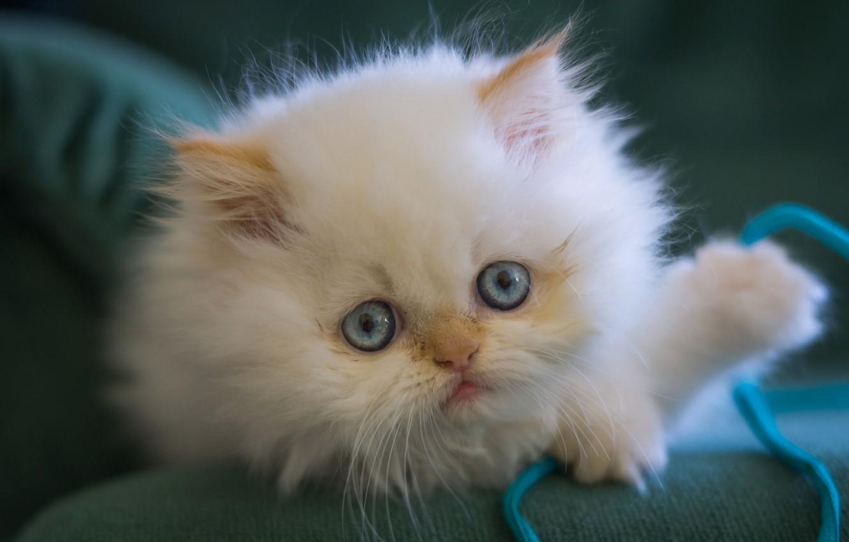 Фото обои белый, взгляд, пушистый, мордочка, котёнок, голубые глаза