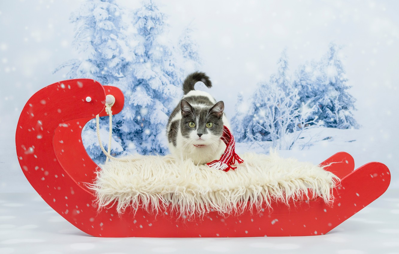 Фото обои зима, кошка, глаза, кот, взгляд, снег, красный, фон, новый год, рождество, ели, мех, сани, шарфик, …
