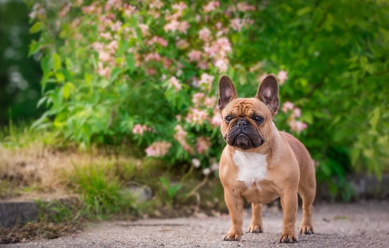 перечень французская собака фото заднем плане