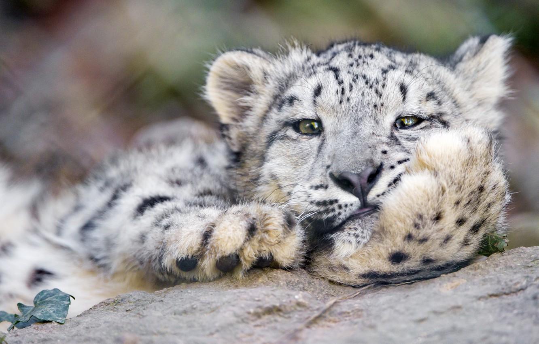 Фото обои кошка, морда, ирбис, снежный барс, ©Tambako The Jaguar