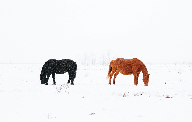 Фото обои снег, черный, лошади, black, коричневый, brown, snow, horses, snowing