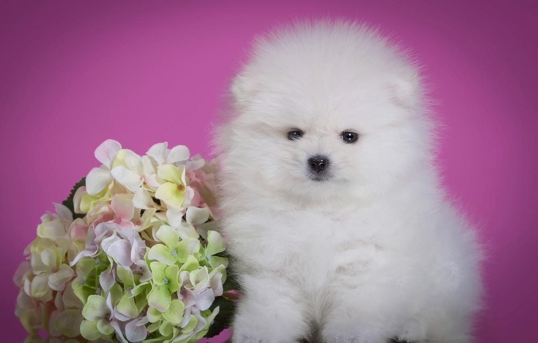 помолодевшая картинки маленькой белой пушистой собачки такого клинка приподнято