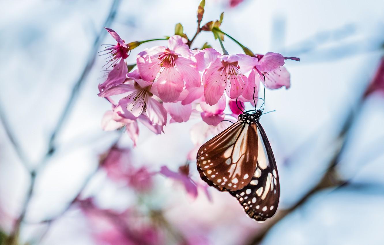 Фото обои макро, цветы, вишня, веточка, дерево, фокус, весна, Бабочка, лепестки, размытость, сакура, розовые, цветение
