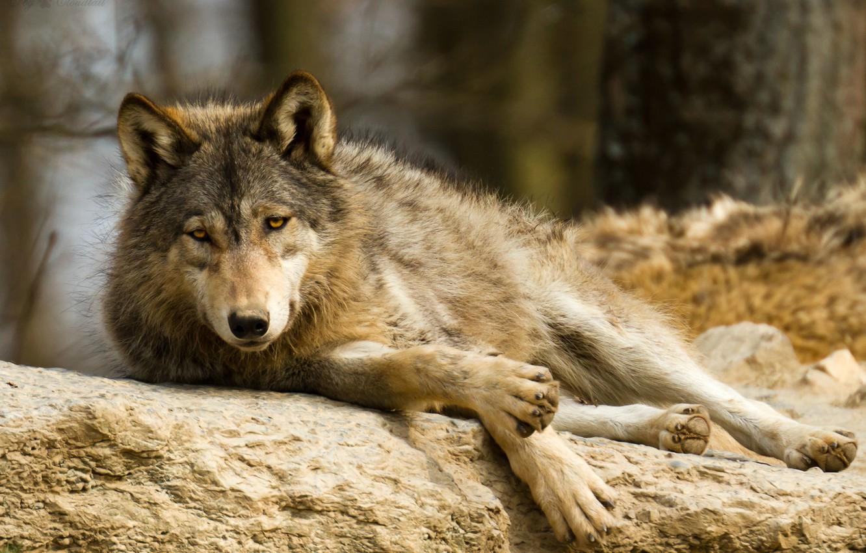 Фото обои взгляд, отдых, камень, волк, хищник