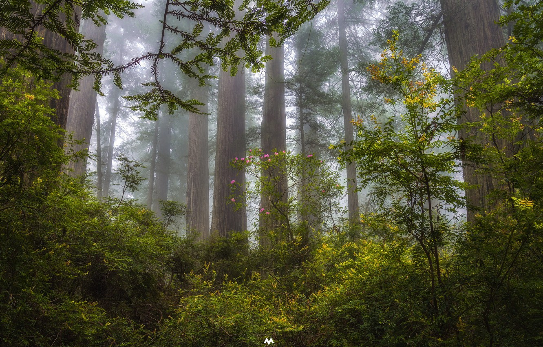 Обои сша, туман, национальный парк редвуд, калифорния. Природа foto 10