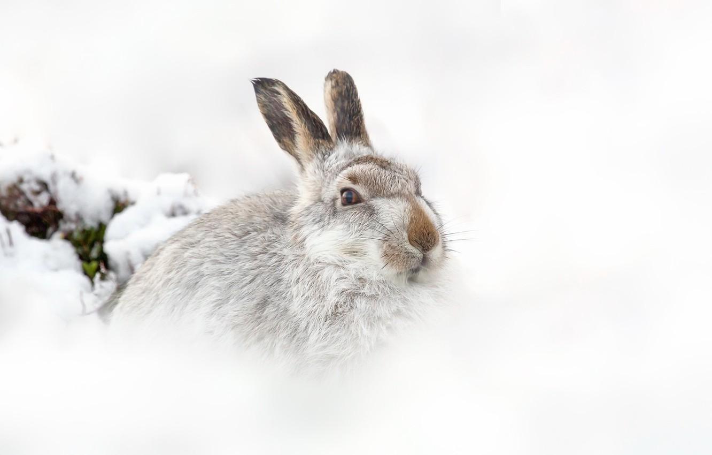 Фото обои природа, фон, заяц