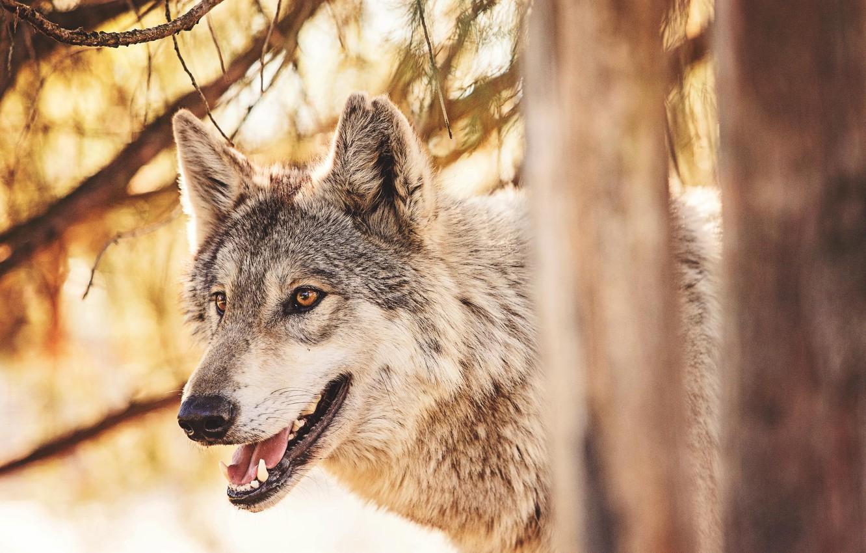 Открытки, открытки и фото волков