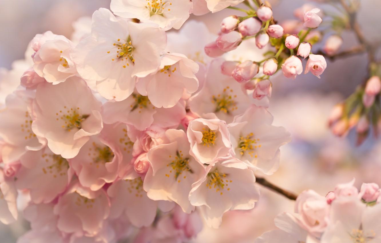 Фото обои макро, цветы, Дерево, розовые, бутоны, цветение, веточки
