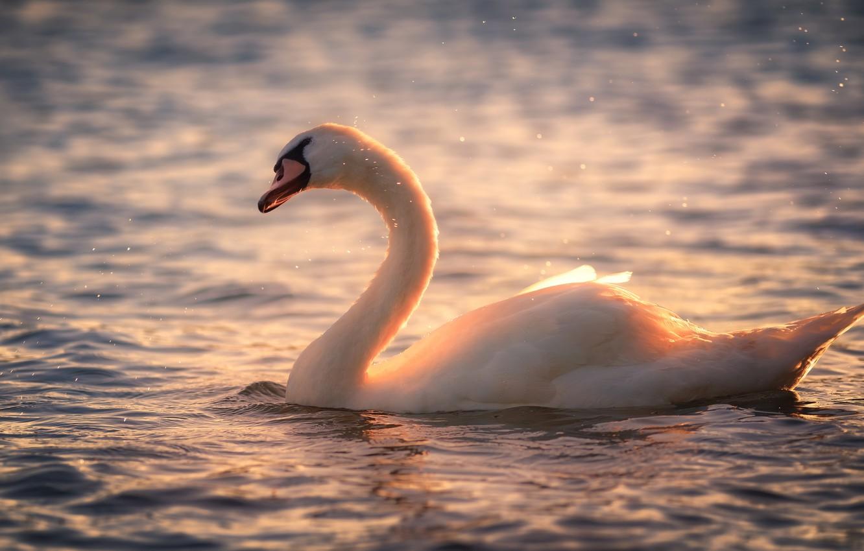 кухня фото лебеди на закате солнца лимфоузлов при лимфоме