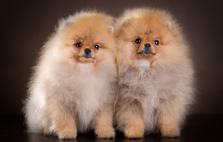 учится красивые фото собак шпица данная разновидность