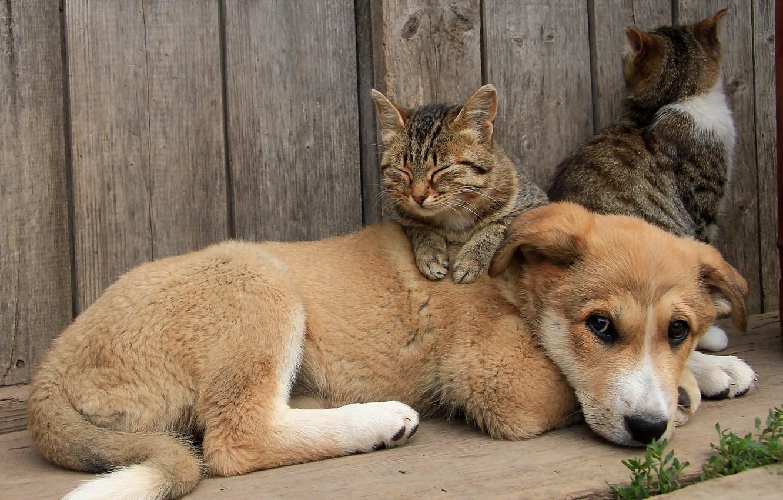 Фото обои кошки, собака, друзья
