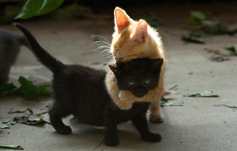 Фото обои черный, игра, рыжий, котята, двое