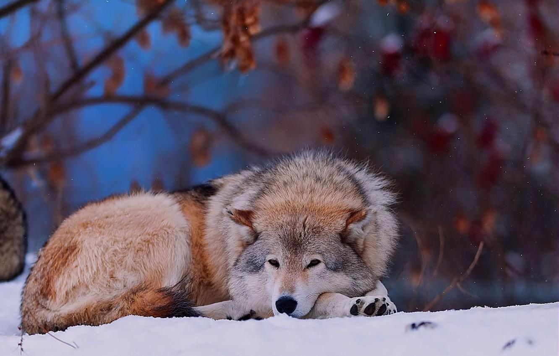 Фото обои зима, лес, снег, животное, волк