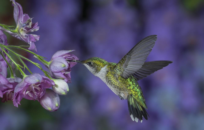 Фото обои полет, цветы, фон, сиреневый, крылья, Колибри, птичка, взмах