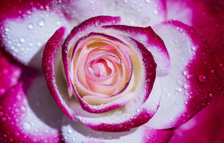 фото розы красивое печать дать реквизиты адрес