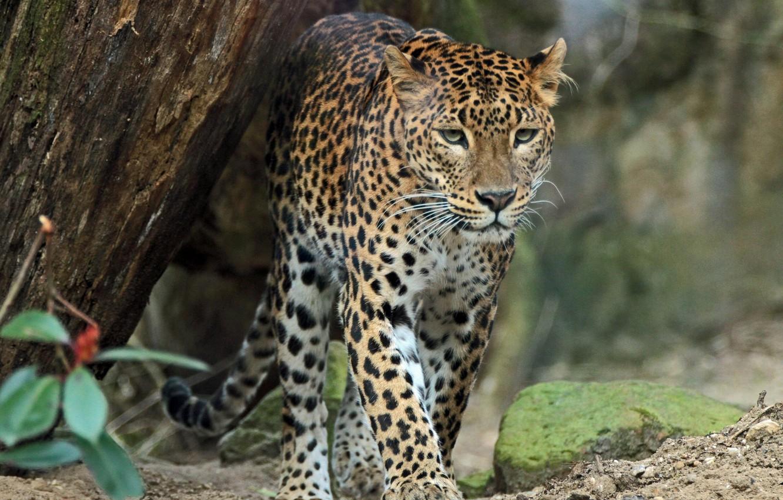 внешним лучшее фото леопарда любом случае, если