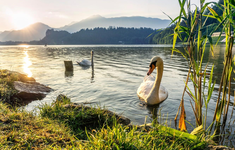 Фото обои трава, закат, горы, птицы, озеро, пара, камыш, лебеди