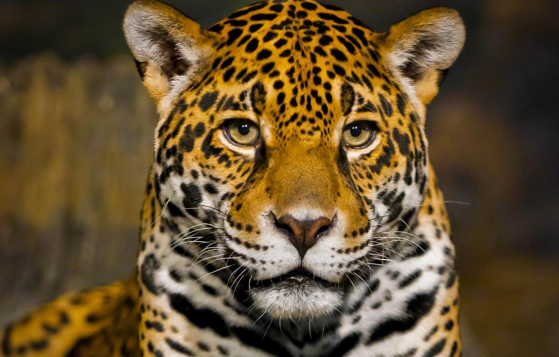 Фото обои морда, хищник, ягуар, боке, крупным планом