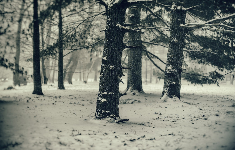 Фото обои холод, зима, снег, деревья, сосны