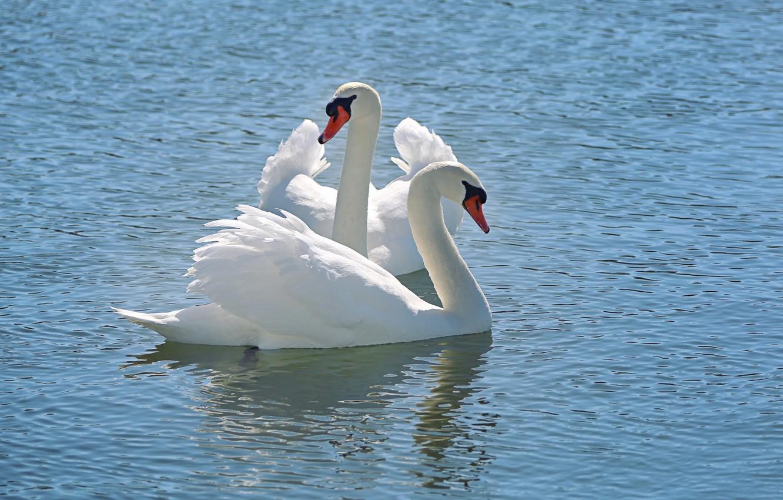 Фото обои вода, снег, природа, nature, water, белый лебедь, tender, Snow Swan, Li Feng