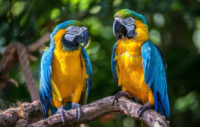 Обои птицa, Сине-жёлтый ара, Попугай. Животные foto 6