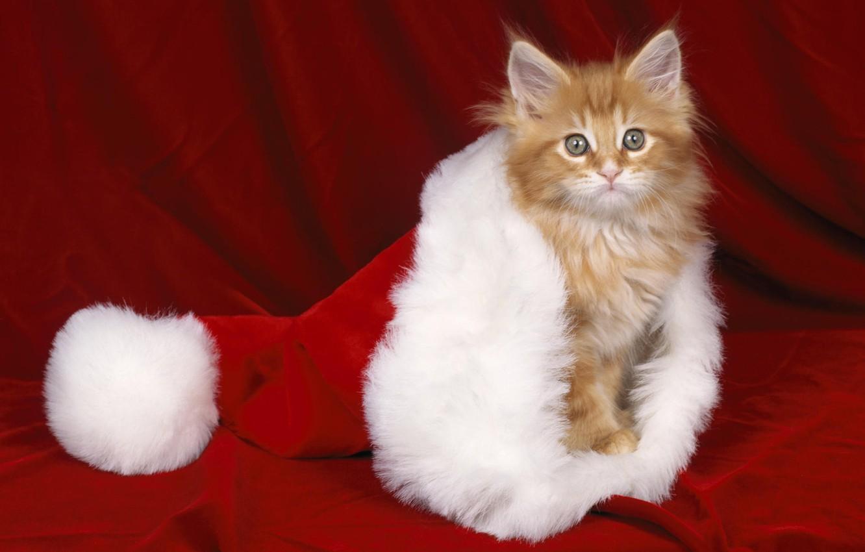 Фото обои красный, котенок, шапка, новый год