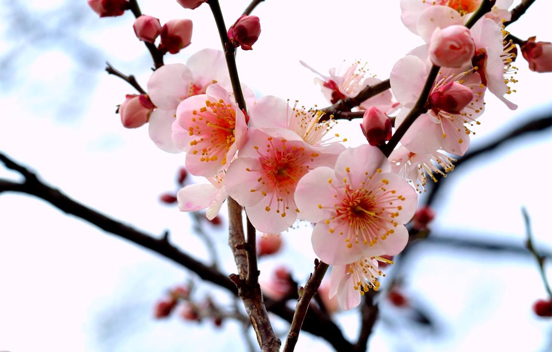 Фото обои макро, цветы, ветки, дерево, ветка, лепестки, розовые, бутоны, Слива