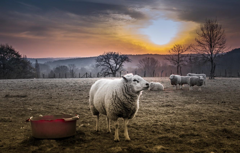 действительности процесс овца обои на рабочий стол пользователи подумали