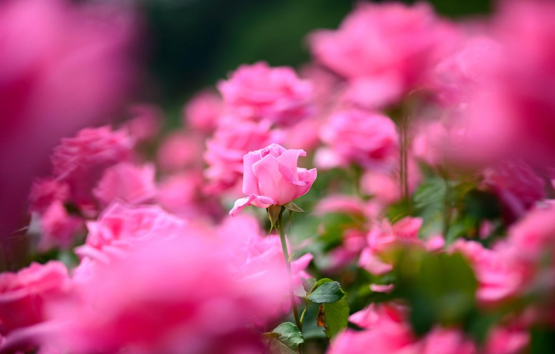 Фото обои роза, лепестки, много, розовый цвет