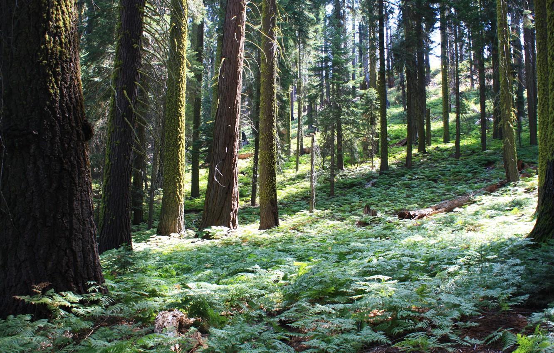 Фото обои лес, деревья, природа, парк, фото, Калифорния, США, Sequoia