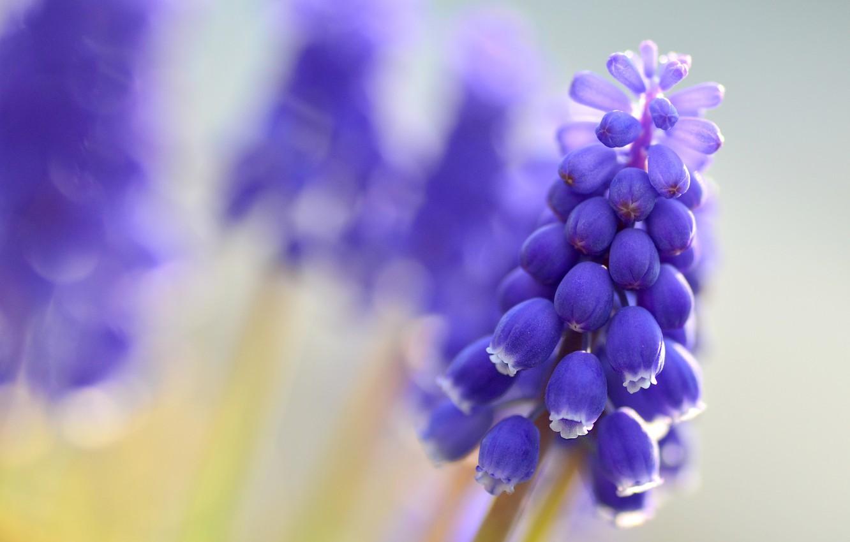 Фото обои макро, цветы, размытость, синие, Мускари