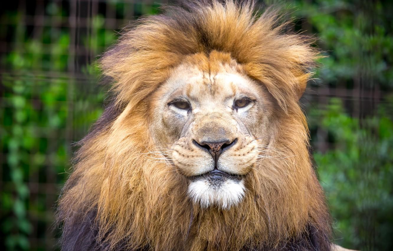 Загрузить фото львов