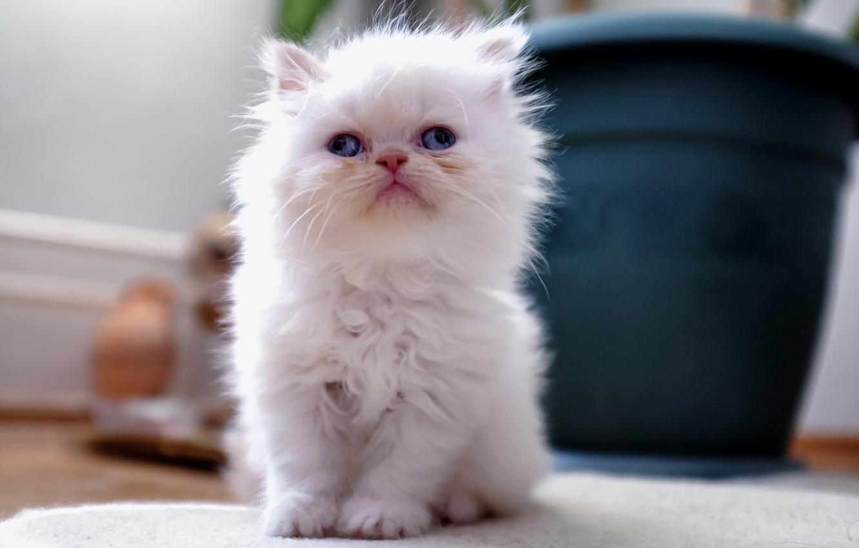 белые пушистые котики фото белая напольная