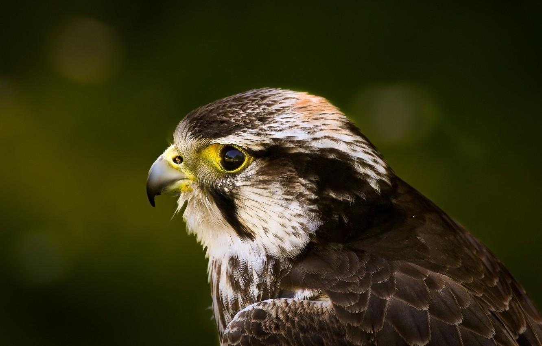 Фото обои взгляд, глаз, птица, голова, Сокол