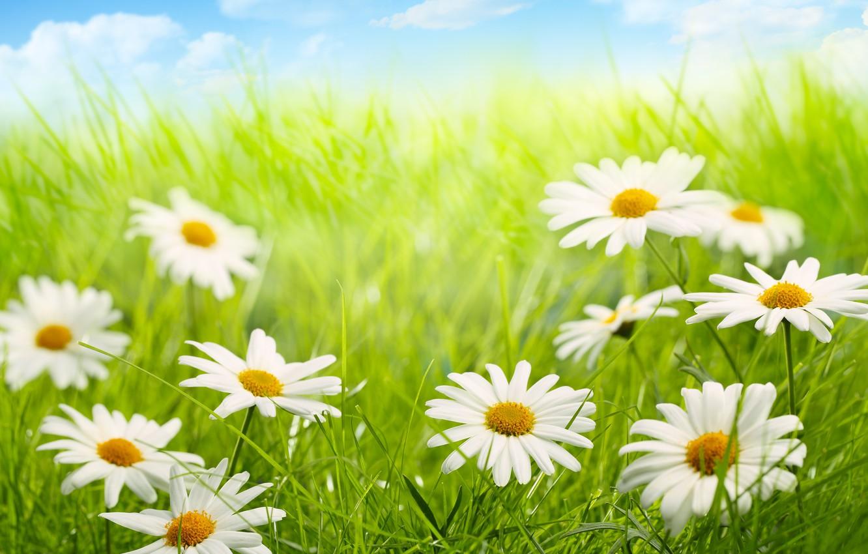 Фото обои небо, облака, природа, ромашки, grass, травка, цветочки, sky, nature, flowers, clouds, chamomile