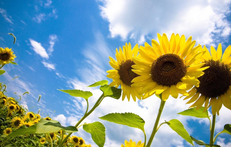 Фото обои небо, солнце, облака, радость, подсолнухи