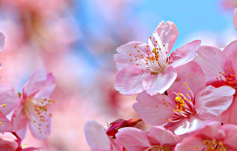 Фото обои макро, природа, вишня, сакура, цветение, цветки