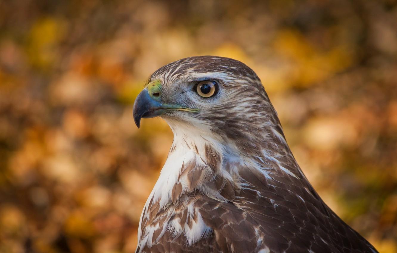 Фото обои взгляд, фон, птица, профиль, bird, Ястреб, боке, bokeh, hawk