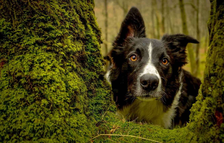 Фото обои взгляд, морда, дерево, мох, собака, Бордер-колли