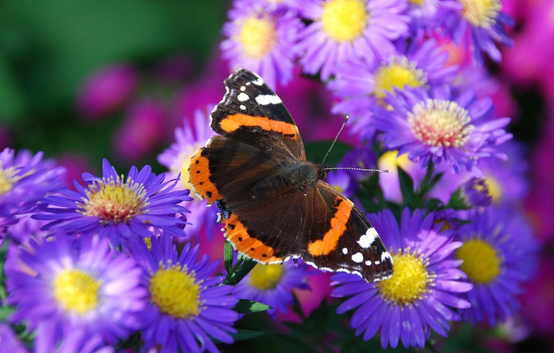 Фото обои цветок, природа, бабочка, лепестки, мотылек