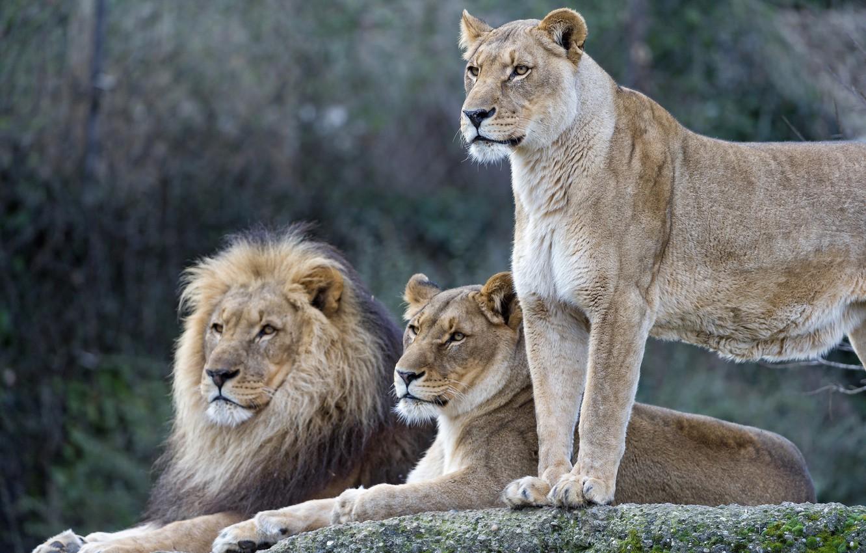 Картинка лев с львицей и двумя львятами
