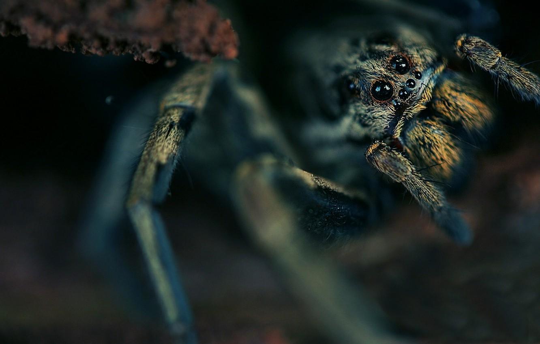 Фото обои глаза, туловище, паук, мохнатый, однако