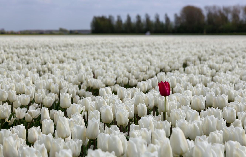Фото обои поле, цветы, природа, тюльпаны