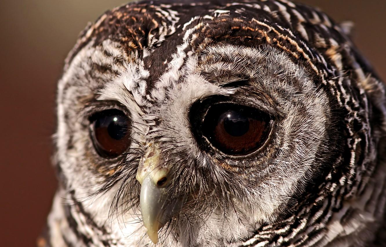 Фото обои глаза, сова, Птица, грустный взгляд, совушка, неясыть