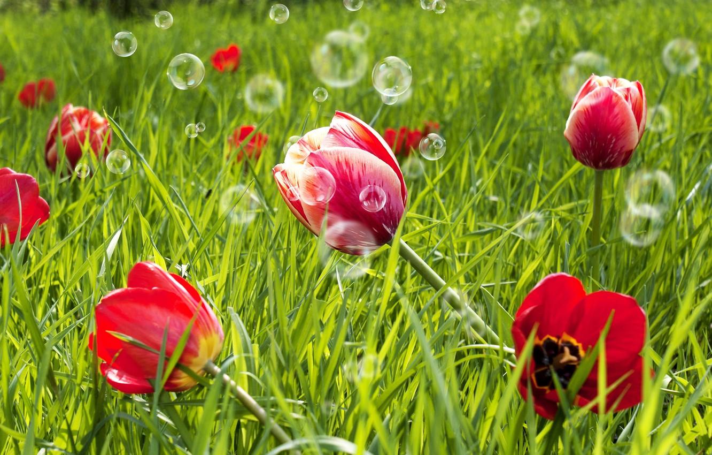 Обои тюльпан, цветы, луг. Абстракции foto 19