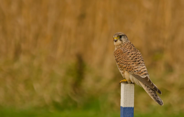 Фото обои поле, взгляд, птица, столбик, Пустельга