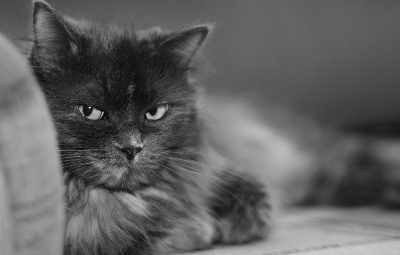 Фото обои черно-белая, Кошка, мурка