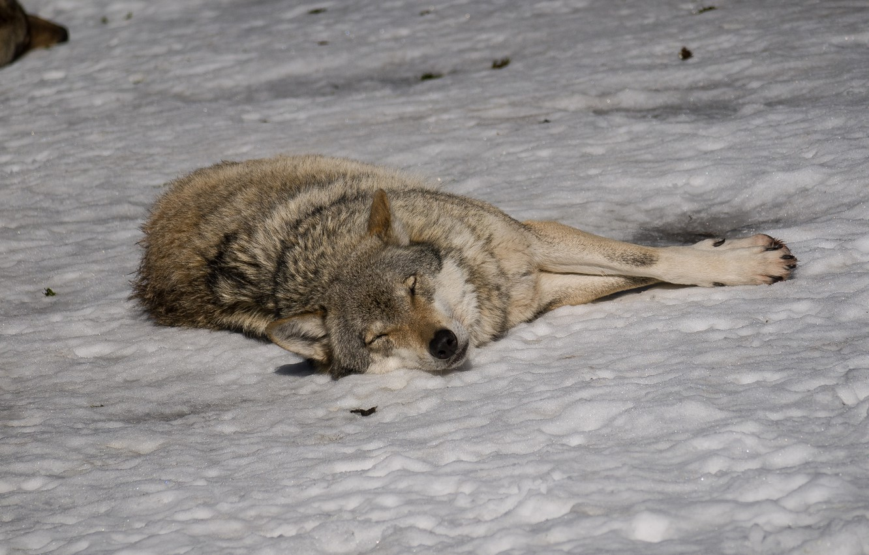 домики, теремочки сонный волк картинки предусмотренный ремешок