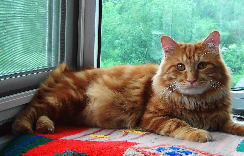 Фото обои Кот, рыжий, СИБИРЬ, Курильский Бобтейл, Тимка