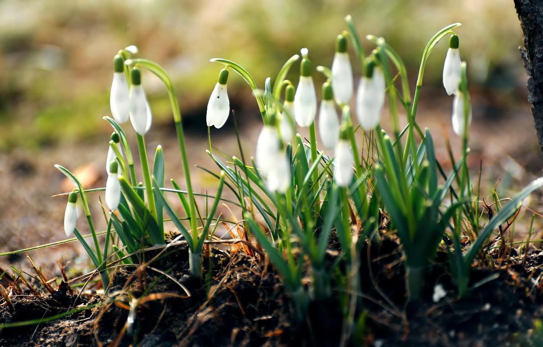 Фото обои лес, трава, макро, цветы, природа, земля, весна, подснежники, белые, первоцветы